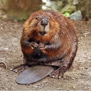 Belfrage 597px-american_beaver