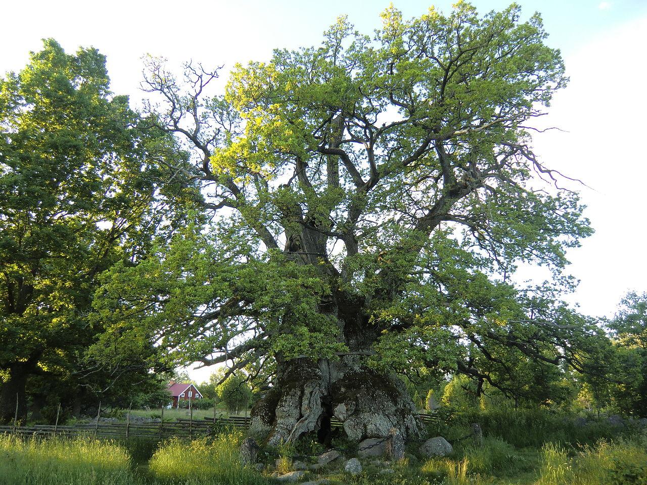 oaks-1280px-kvillek