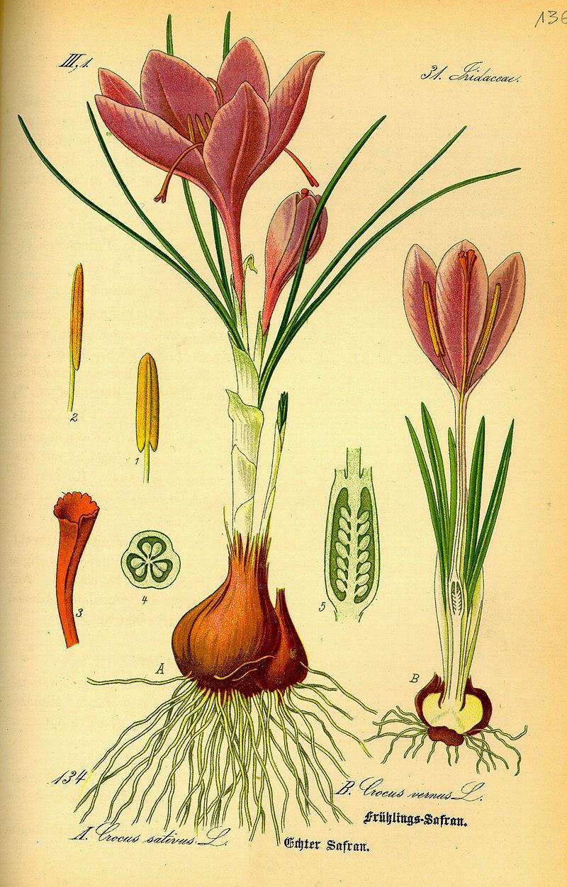 saffron-crocus-1