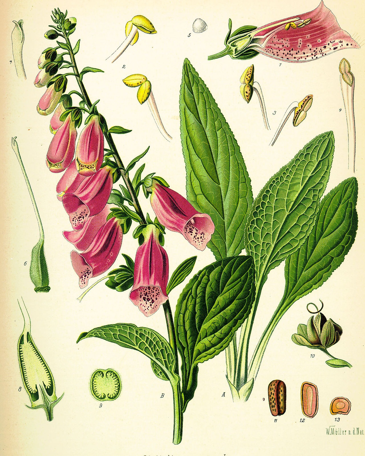 NC Digitalis_purpurea_Koehler_drawing