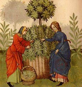 medieval herbs A_024_herbs