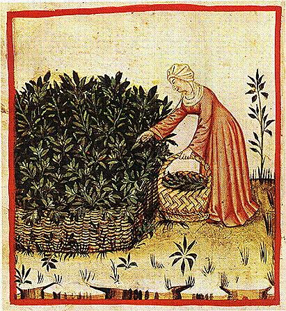Medieval herbs greenwood+tree