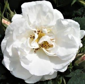 kimberley Alba-Maxima-Alba-Rose (2)
